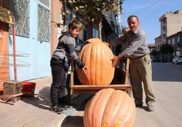 مزارع تركي يقطف أكبر ثمرة قرع تزن نحو 105 كلغم