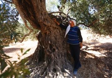 أشجارة الزيتون المباركة في بلدة كفر مالك