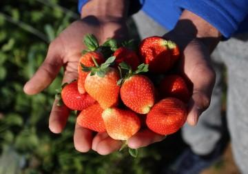 قطف ثمار الفراولة في مزارع شمال قطاع غزة