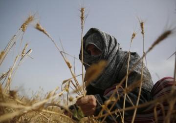 مواطنون يحصدون القمح في خانيونس جنوب قطاع غزة