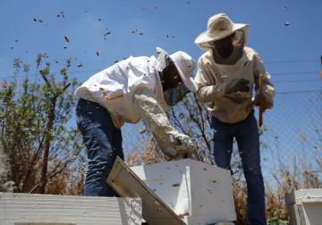 المواطن أمير العمري يقطف العسل في بلدة فقوعة بجنين