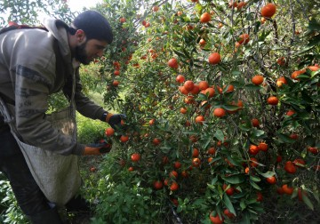 موسم قطاف الحمضيات في قطاع غزة