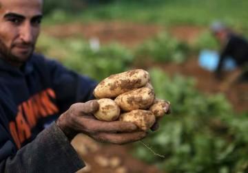 موسم قطف البطاطا من شمال قطاع غزة