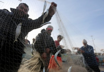 استخراج سمك السردين من شباك الصيد .. غزة في 21 يناير