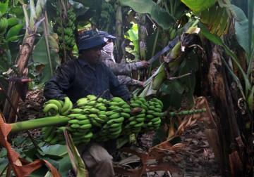 موسم قطف الموز في مدينة أريحا