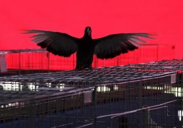 معرض لأنواع طيور الحمام في مدينة غزة