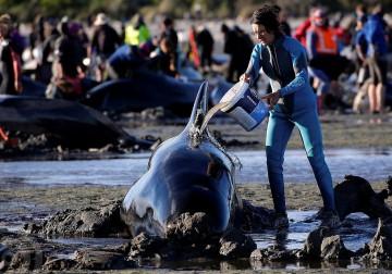 انتحار أكثر من 350 حوت وإنقاذ نحو 100 آخرين ألقت بنفسها للشاطئ في منطقة الخليج الذهبي جنوب نيوزيلاندا في ظاهرة غريبة لم يجد العلماء تفسيرا لها .