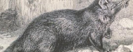 دراسة طبية تنفي تهمة الطاعون عن الفئران السوداء