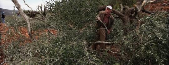 اعتداءات على اشجار الزيتون