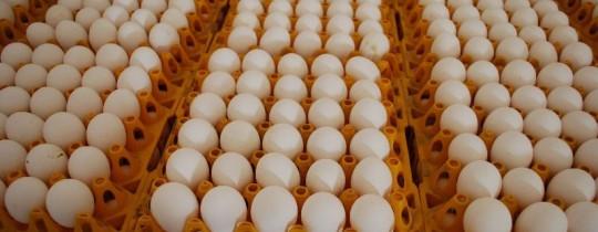 fertile-hatching-eggs-Cobb500