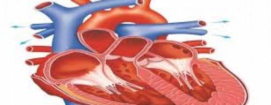 رسم توضيحي لعضلة القلب