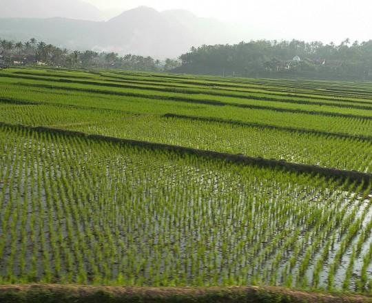 زراعة الأرز تحتاج لكميات كبيرة من الماء